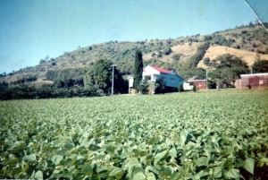 The family home with bean crop at Webster Road.